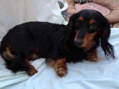 Bernie- dachshund. Needs adopted! http://www.fureverdachshundrescue.org/animals/detail?AnimalID=4696806