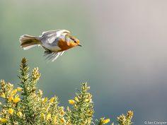 European Robin in flight. Took this photo on Smithills Estate , Bolton. European Robin, Robin Redbreast, Birds, Nature, Animals, Naturaleza, Animales, Animaux, Robin
