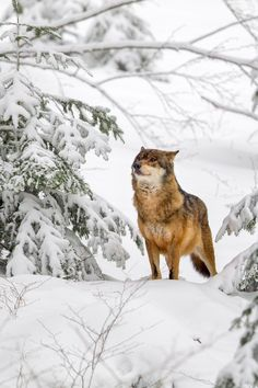 Wolf (Canis lupus) - Wolf (Canis lupus) in the snow in the animal enclosure in the Bavarian Forest National Park, Bavaria, Germany.