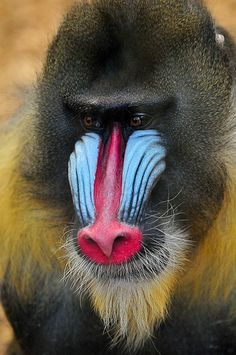 Image result for mandrill front view