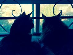 Basil & his brother Sébastien enjoy their favourite hobby of birdwatching. Maine Coon cats.