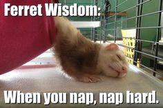 Just so funny and cute Black Footed Ferret, Whelping Box, Funny Ferrets, Pet Ferret, Love Pet, Cute Funny Animals, Animal Memes, Otters, Pet Birds