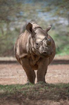 The rhinos of Lewa                                                       …