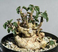 Succulent Bonsai 49