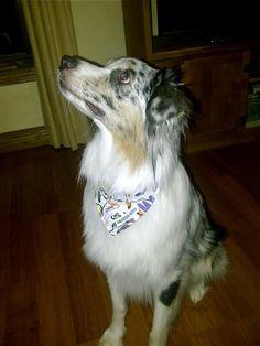 """Sawyer wearing """"Flower Frenzy"""" bandana www.caninelove.ca"""