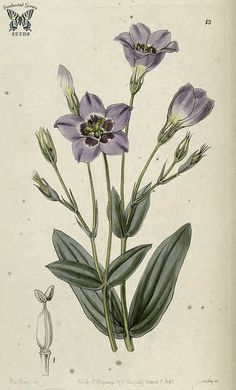 Catchfly Prarie Gentian, Western blue gentian. Eustoma exaltatum. Large bluish-purpe flowers with striking purple centers. (1845)