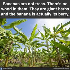 Mind Blowing Facts, Mind Blown, Did You Know, Vineyard, Berries, Herbs, Plants, Outdoor, Outdoors