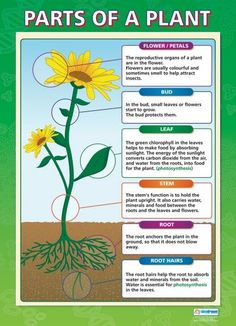 From our Science poster range, the Parts of a Plant Poster is a great educational resource that helps improve understanding and reinforce learning.