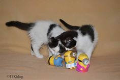 ~Tails from the Foster Kittens~: Because kittens need #Minions