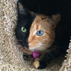 嵌合體貓有一個引人注目的精美雙色調的臉 - 我的現代氣象
