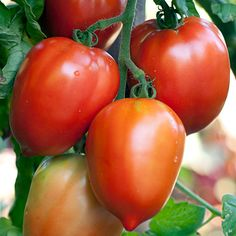 Growing tomato plants from seeds is not that difficult and it is extremely rewarding. Phenomenal Growing Tomatoes from Seeds Ideas. Growing Tomatoes From Seed, Growing Tomatoes In Containers, Growing Seeds, Grow Tomatoes, Dried Tomatoes, Tomato Garden, Vegetable Garden, Garden Tomatoes, Saving Tomato Seeds