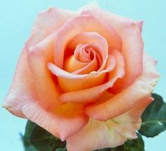 Hybrid Tea Roses - Scent-sation