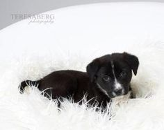 TRINITY is an adoptable Labrador Retriever Dog in McKinney, TX. We do not have a facility to house the dogs in our program. They are all kept in foster homes until they are adopted. Therefore, if you ...