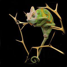 Yemen chameleon edited by Tom71067