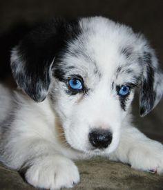blue merle cardigan corgi... i want one!