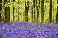 """A floresta de Micheldever, e para os apreciadores da beleza do campo, é um espaço com grandes áreas de coníferas maduras e uma impressionante exibição de flores """"bluebell"""" ( Hyacinthoides ). Obs: Este contraste dá-se na primavera quando as Hyacinthoides exibem todo este """"azul-violeta""""."""