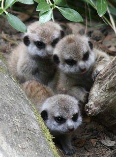 Baby meerkats <3