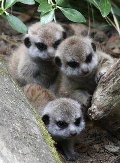 baby meerkats... My favorite animal at the zoo!