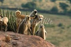 Hanuman or Grey or Common Langur (Semnopithecus entellus) group grooming a dog, Rajasthan, India