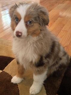 Maverick the Australian Shepherd