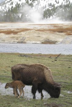 Bison with newborn calf in Yellowstone National Park