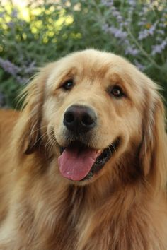 Goldens have angelic faces.