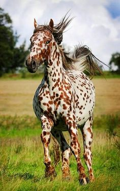 I wonder if leopard Appaloosa would do good in dressage? Beautiful Horse Pictures, Most Beautiful Horses, Pretty Horses, Horse Love, Animals Beautiful, Majestic Horse, Majestic Animals, Rare Animals, Caballos Appaloosa