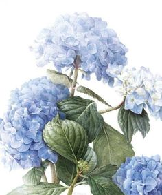 Blue 'Mophead' Hydrangea Hydrangea macrophylla x Renate watercolour on paper 18 x 24 © Elaine Searle, 2011 Hortensia Hydrangea, Blue Hydrangea, Hydrangeas, Hydrangea Macrophylla, Illustration Botanique, Illustration Blume, Botanical Flowers, Botanical Prints, Watercolor Art