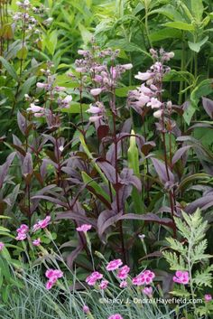 Penstemon 'Dark Towers' with Dianthus 'Pixie' at Hayefield