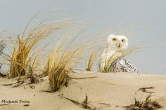 Snowy owl playing Peek-a-boo. Massachusetts. USA   I see you!  Thanks for the photo Michael! More Snowy Owls on our website here --> http://owlpag.es/snow