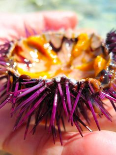 Cephalonia, Pesada, Greece — by Matilde Civitillo. Sea urchins are one of the most delicious food ever. The Mediterranean Sea is very rich they and you can not taste. Sea Urchins, Mediterranean Sea, Greece Travel, Mood Boards, Delicious Food, Islands, Around The Worlds, Fish, Places