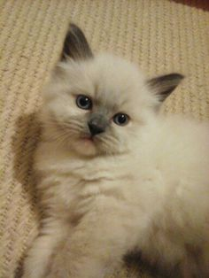 Cammy my sweet little Ragdoll. We get him in 4 more weeks! So excited!