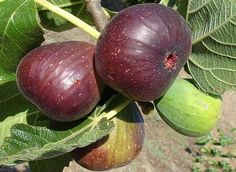 BROWN TURKEY FIG blooms in spring to early summer and ripens in summer. It produces medium to large reddish-brown fruit with pink flesh. Excellent for home preserves or fresh eating.