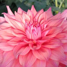 Pictures and Profiles of Great Container Plants and Flowers : Giant Dinner Plate Dahlia, 'Bonaventura'