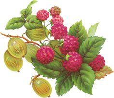 Zibi Vintage Scrap--fantastic fruit botanicals