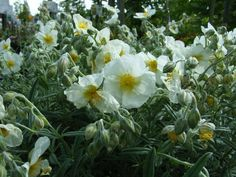 Helianthemum 'The Bride' - zonneroosje - Vaste planten | Maréchal 20 cm
