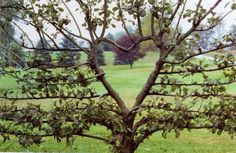 how to espalier a camellia - Google Search