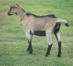 Alpine goat does | Registered Alpine Does (Alpine Dumpling Gang)