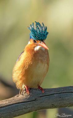 WhereLionsRoam Featured Pic Ilna Booyens of a Malachite Kingfisher
