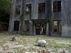 Okunoshima Abandoned Poison Gas factory. The rabbits used for testing were released, and well.... bred like rabbits.