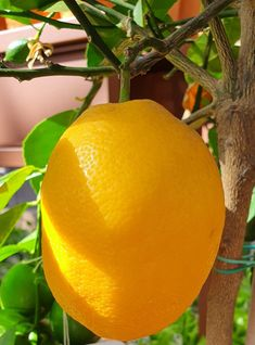 Fruits And Vegetables, Orange, Yellow, Fancy, Flowers, Nature, Plants, Craft, Peonies