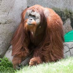 orangutan | Orangutan looking at foot