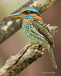 Spotted Wood Kingfisher (Actenoides lindsayi) Endemic by neon2rosell*