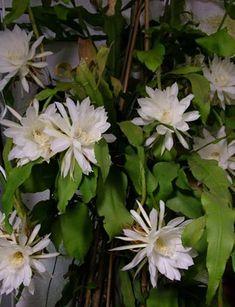 Epiphyllum-oxypetalum-reproducción-sexuuada-introducción