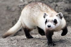 Why an Arizona Rancher Wants to Save the Critically Endangered Black-Footed Ferret