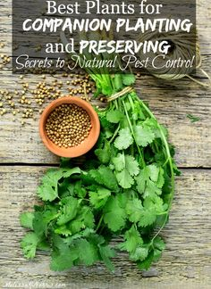 Want to grow your food naturally but without pests? Learn the secrets of which plants to use for companion planting and preserving that help fight pests naturally!