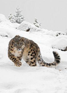 A Snow Leopard.