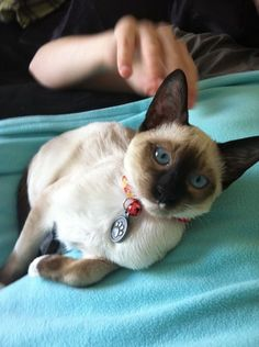 Pictures of Siamese Cat Breed My Siamese mix has similar points - and the baby blues.