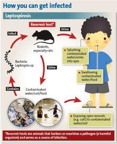 Epidemiologia: : La leptospirosis ocurre en todo el mundo, pero es más común en las áreas  tropicales y subtropicales con altos índices de precipitación. La enfermedad se  encuentra en cualquier lugar en donde los humanos entran en contacto con la  orina de animales infectados o un ambiente contaminado con orina.  La transmisión se produce principalmente mediante el contacto de las mucosas  y la piel lesionada.