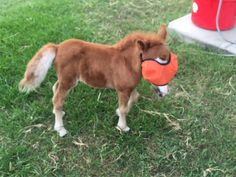 Foxy is precious! #bhfer #baby #foalrescue #rt